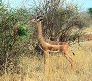 African gazelle gerenuk Stock Photo