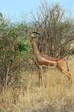 African gazelle gerenuk Royalty Free Stock Photography