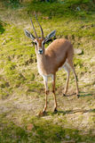 African Gazelle Royalty Free Stock Photos