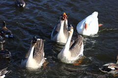 African Geese Royalty Free Stock Image