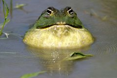Free African Giant Bullfrog Royalty Free Stock Photography - 16356597