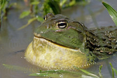 African giant bullfrog stock image