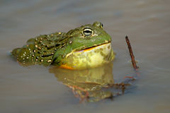 African giant bullfrog Royalty Free Stock Photos