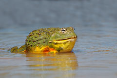 African giant bullfrog. Male African giant bullfrog (Pyxicephalus adspersus) in shallow water, South Africa stock image