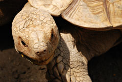 African Giant Horned Tortoise Royalty Free Stock Photos