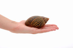 African giant land snail  Royalty Free Stock Images