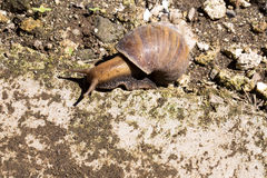 African giant snailAchatina Achatina snail is an invasive species, Bali, Indonesia. One African giant snailAchatina Achatina snail is an invasive species Royalty Free Stock Photography