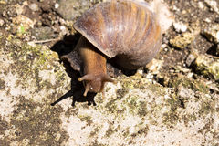 African giant snail Achatina Achatina snail is an invasive species, Bali, Indonesia Royalty Free Stock Image