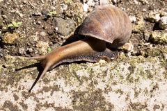 African giant snail Achatina Achatina snail is an invasive species, Bali, Indonesia Stock Photography