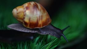African giant snail Marginata creeps stock footage