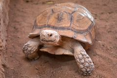 African giant turtle. Walking on the desert Royalty Free Stock Photo