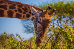 African Giraffa Stock Images