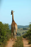 African Giraffe stock images