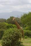 African giraffe. Big wild animal Stock Photos