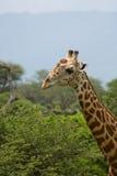 African giraffe. Big wild animal Stock Photography