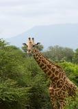 African giraffe. Big wild animal Royalty Free Stock Photography