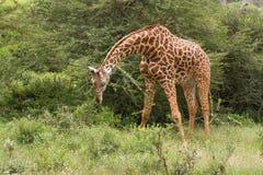 African giraffe. Big wild animal Royalty Free Stock Photo