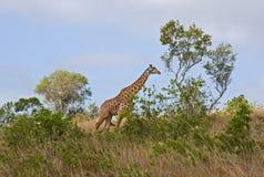 African giraffe. Big wild animal Royalty Free Stock Photos