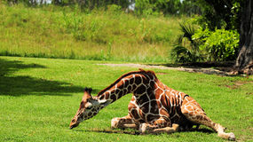 African Giraffe. Reticulated Giraffe lying on the grass in a South Florida zoo stock photos