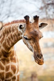 African giraffe Stock Photos