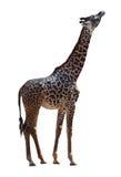 African Giraffe Royalty Free Stock Photo