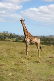 African giraffe. An african giraffe on a game park in South Africa Royalty Free Stock Image