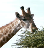 African Giraffe. Close-up picture of an African giraffe eating leaves of a tree in Polokwane Nature Reserve in Limpopo Province, South Africa Stock Photo