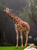 African Giraffe Royalty Free Stock Photos