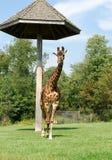 African giraffe. Photo of a walking giraffe, Toronto ZOO, Canada Royalty Free Stock Photography