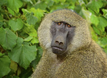 Male olive baboon closeup portrait  Stock Photography