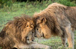 Two African Lions greet each other in Serengeti plains Royalty Free Stock Photo