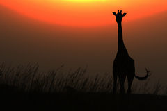 African giraffe against red sun in sunset Stock Images