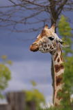 African giraffe animal royalty free stock photos