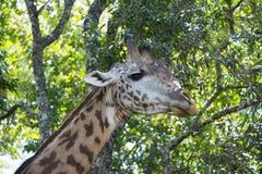 African giraffe big male bull closeup among acacia trees in Tanzania, Africa. African giraffe big male bull closeup among acacia trees in Arusha National Park of royalty free stock photo