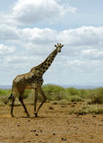 African giraffe in the bush of the savannah Royalty Free Stock Photo