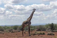 African giraffe in the bush of the savannah Stock Image