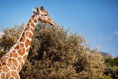 African Giraffe Stock Image