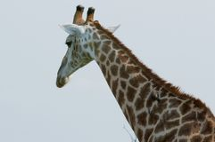 African giraffe close up royalty free stock photography