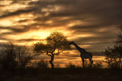 African giraffe eating in sunset Royalty Free Stock Photos