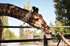 African giraffe eating vegetable from human hand. The animals wildlife concept. royalty free stock photography