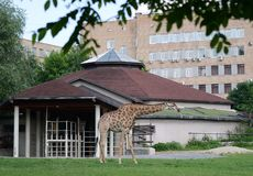 African giraffe in the enclosure of the Moscow Zoo. MOSCOW, RUSSIA - MAY 29, 2016: African giraffe in the enclosure of the Moscow Zoo stock photo