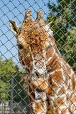 African giraffe in an enclosure at the zoo. Giraffa camelopardalis Stock Images