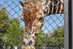 African giraffe in an enclosure at the zoo. Giraffa camelopardalis Royalty Free Stock Photos