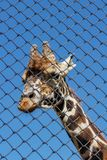 African giraffe in an enclosure at the zoo. Giraffa camelopardalis Royalty Free Stock Photo