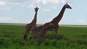 African giraffe family. African giraffes herd with their little giraffe in the grass of the Serengeti National Park Tanzania in Africa