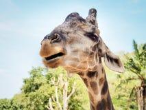 African Giraffe Head Portrait Royalty Free Stock Photos