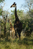 African Giraffe Kruger National Park. An African Giraffe Kruger National Park Royalty Free Stock Photos