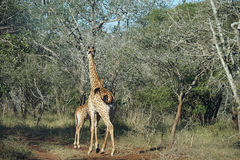 African Giraffe Kruger National Park. Two African Giraffe Kruger National Park Royalty Free Stock Photography
