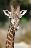 African giraffe licking niose with tongue Royalty Free Stock Image