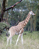 African giraffe in the meadows of the savannah royalty free stock photo